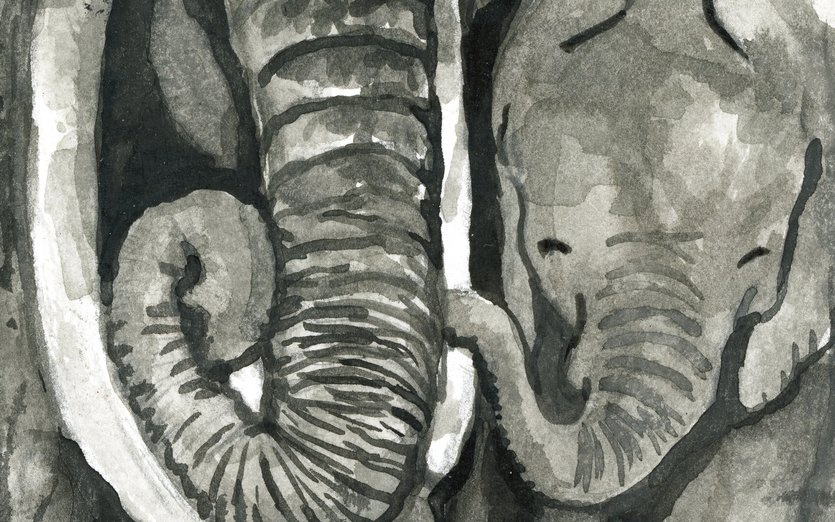 original art: ink, 4x6 inches  - african, animal, baby, elephant, savanna, tusk