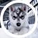 Husky_Love_