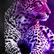 Indigo_Leopard
