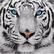 Snow_Tiger