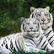 Tiger_Tail16