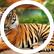 Tigerking10k
