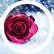 Winters_Rose