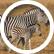 zebra011
