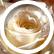 rose1519